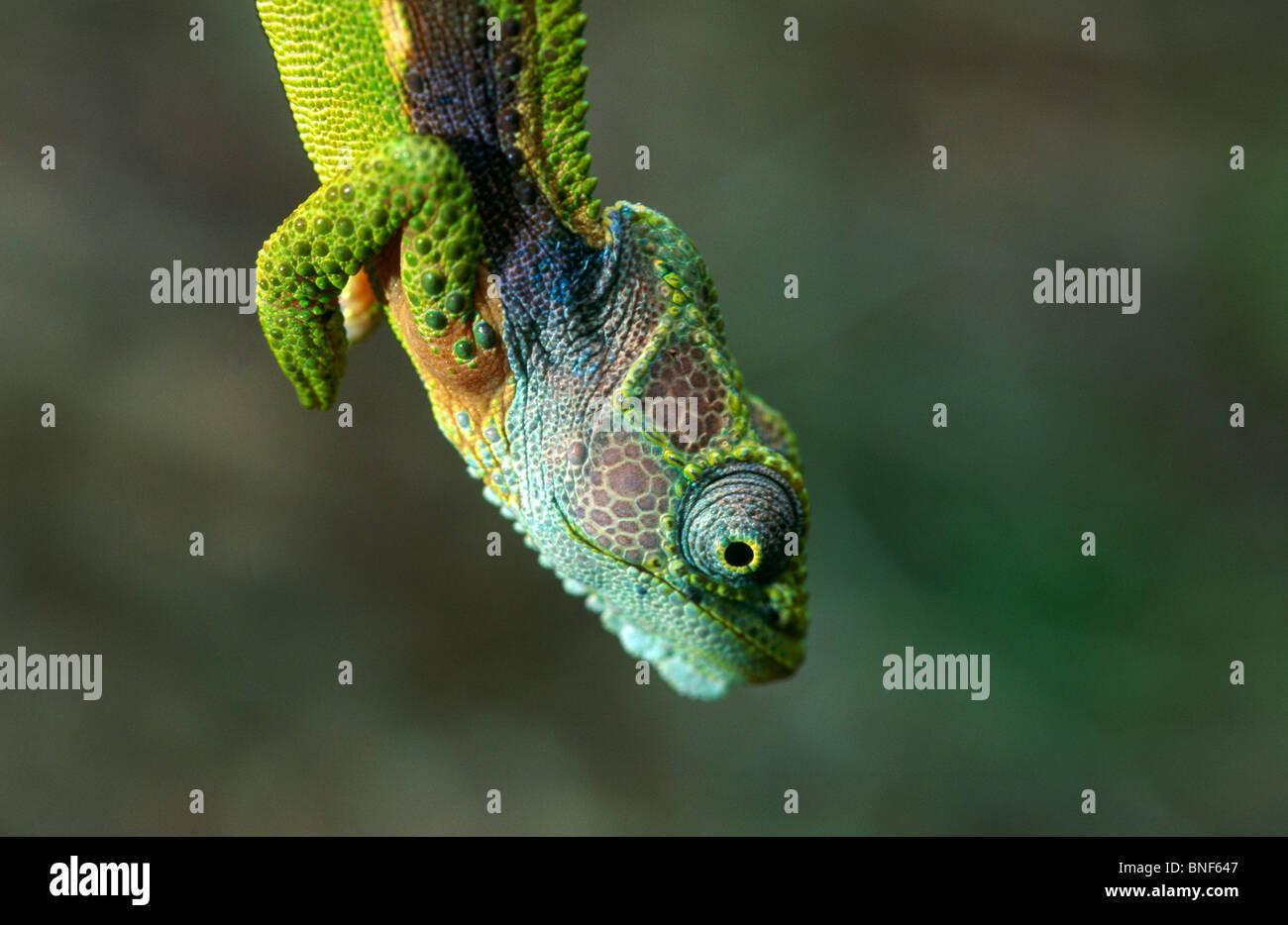 Vue rapprochée d'un caméléon nain (Bradypodian ventrale),le parc national de Tsitsikamma Province Photo Stock