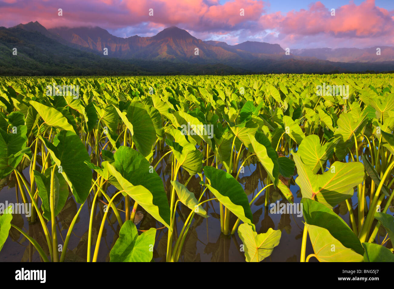 Le taro (Colocasia esculenta) récolte dans un champ, vallée d'Hanalei, Kauai, Hawaii, USA Photo Stock