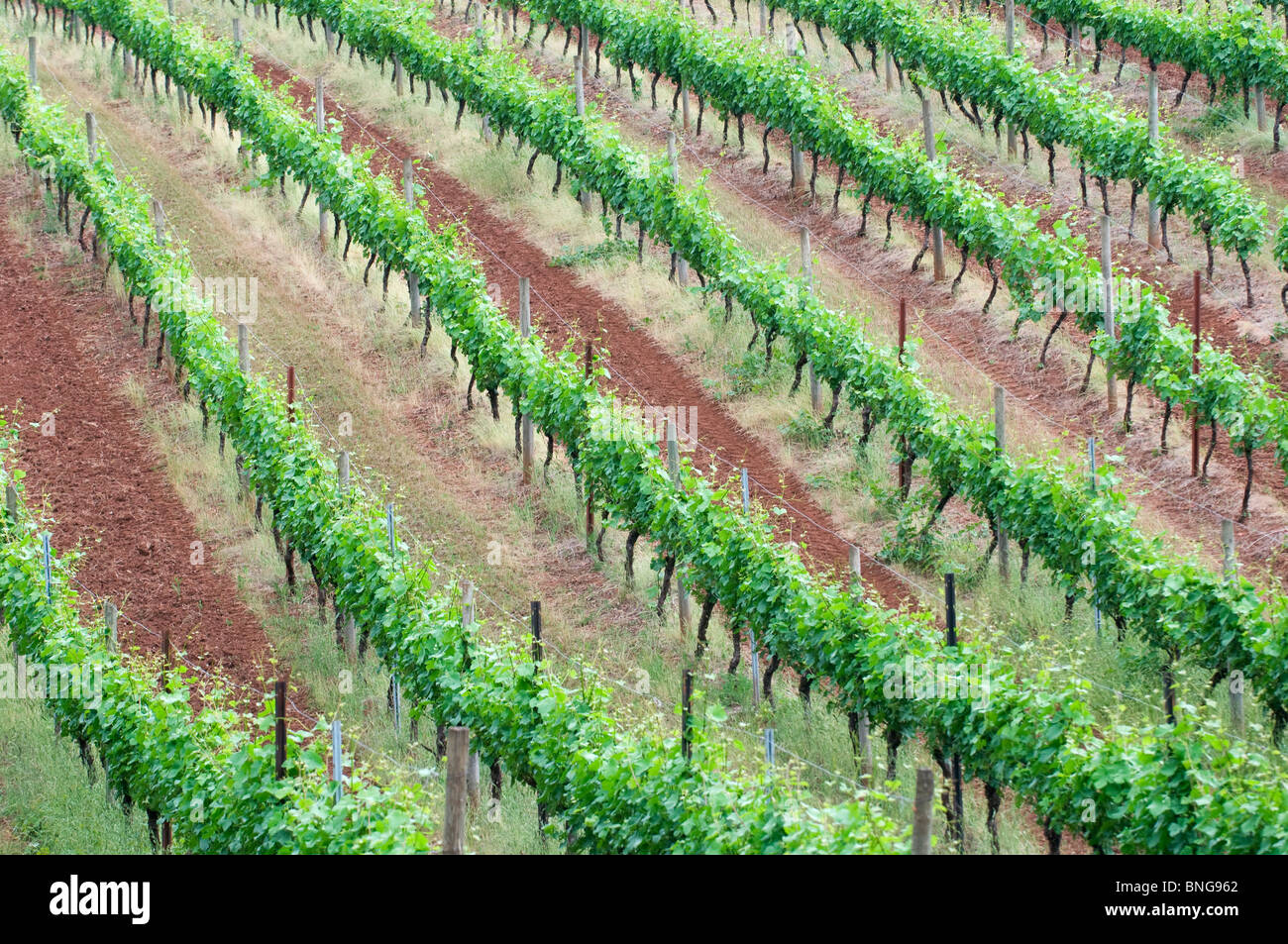 Terre rouge vignes à Dundee Hills ; près de McMinnville, Willamette Valley, Oregon Photo Stock