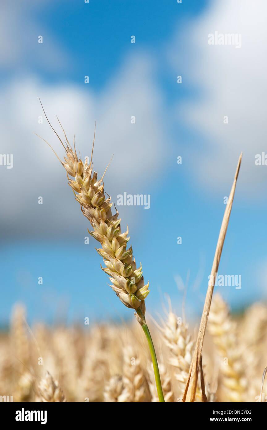 Triticum aestivum. Dans un champ de blé dans la campagne anglaise Photo Stock