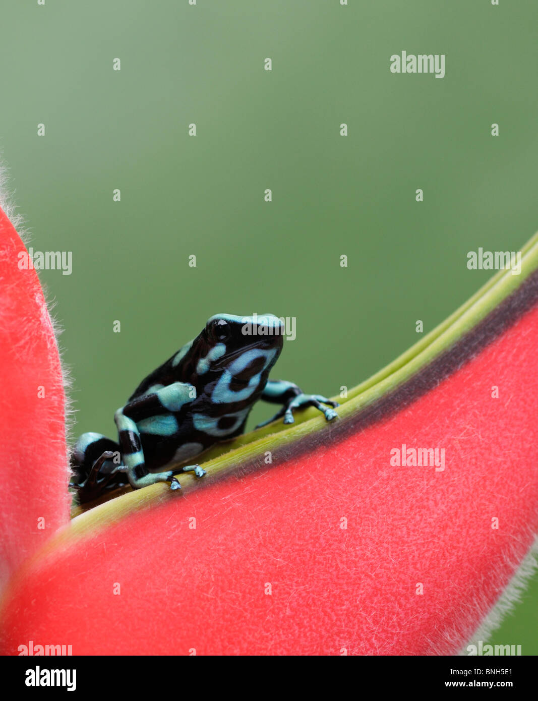 Green and Black poison dart frog, Dendrobates auratus, Selva Verde, Costa Rica Photo Stock