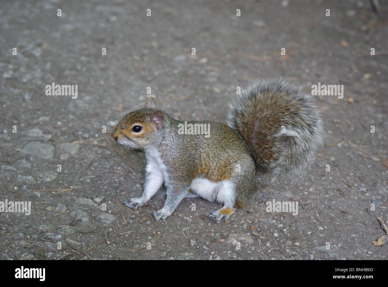 Sqirrel mignon avec queue touffue Photo Stock