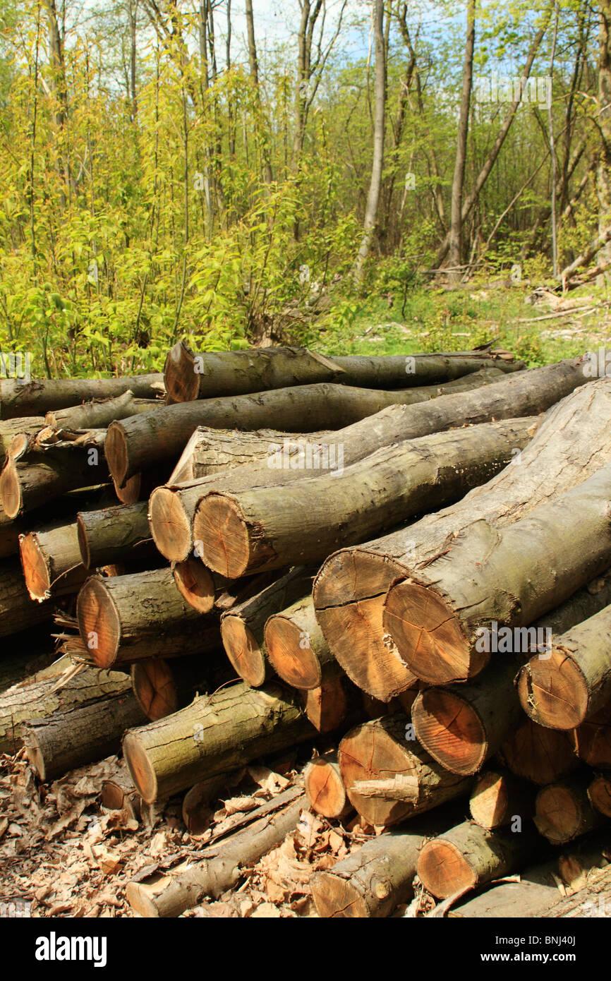 De pieux en bois, Norsey Wood, Essex UK Photo Stock