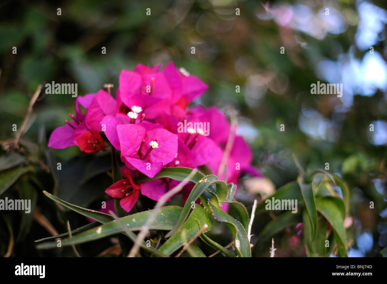 Bougainville Fleur avec weihrauch photos & weihrauch images - alamy
