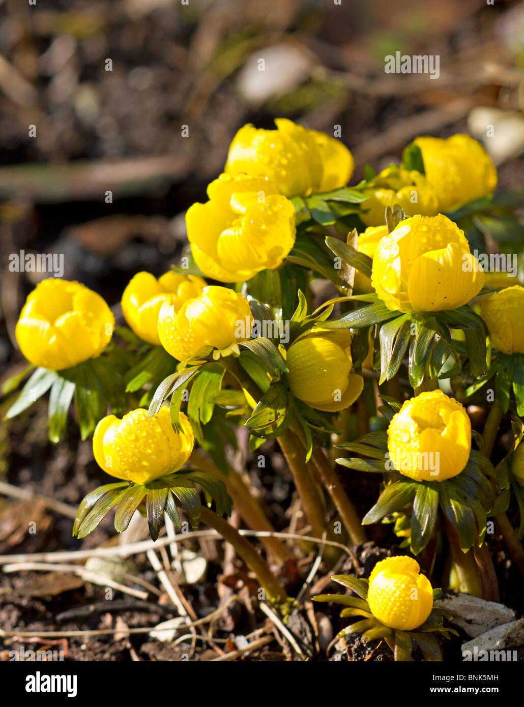 Fleurs Jaune Aconit D Hiver Hymalis Eranthus Banque D Images Photo