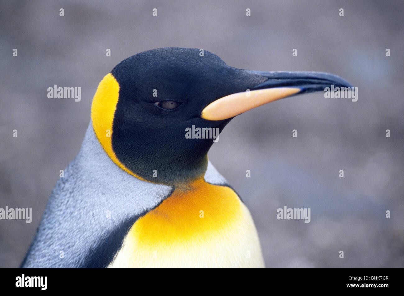 Plumage orange sur la tête et la poitrine identifier les manchots royaux, comme celui sur l'île de Photo Stock
