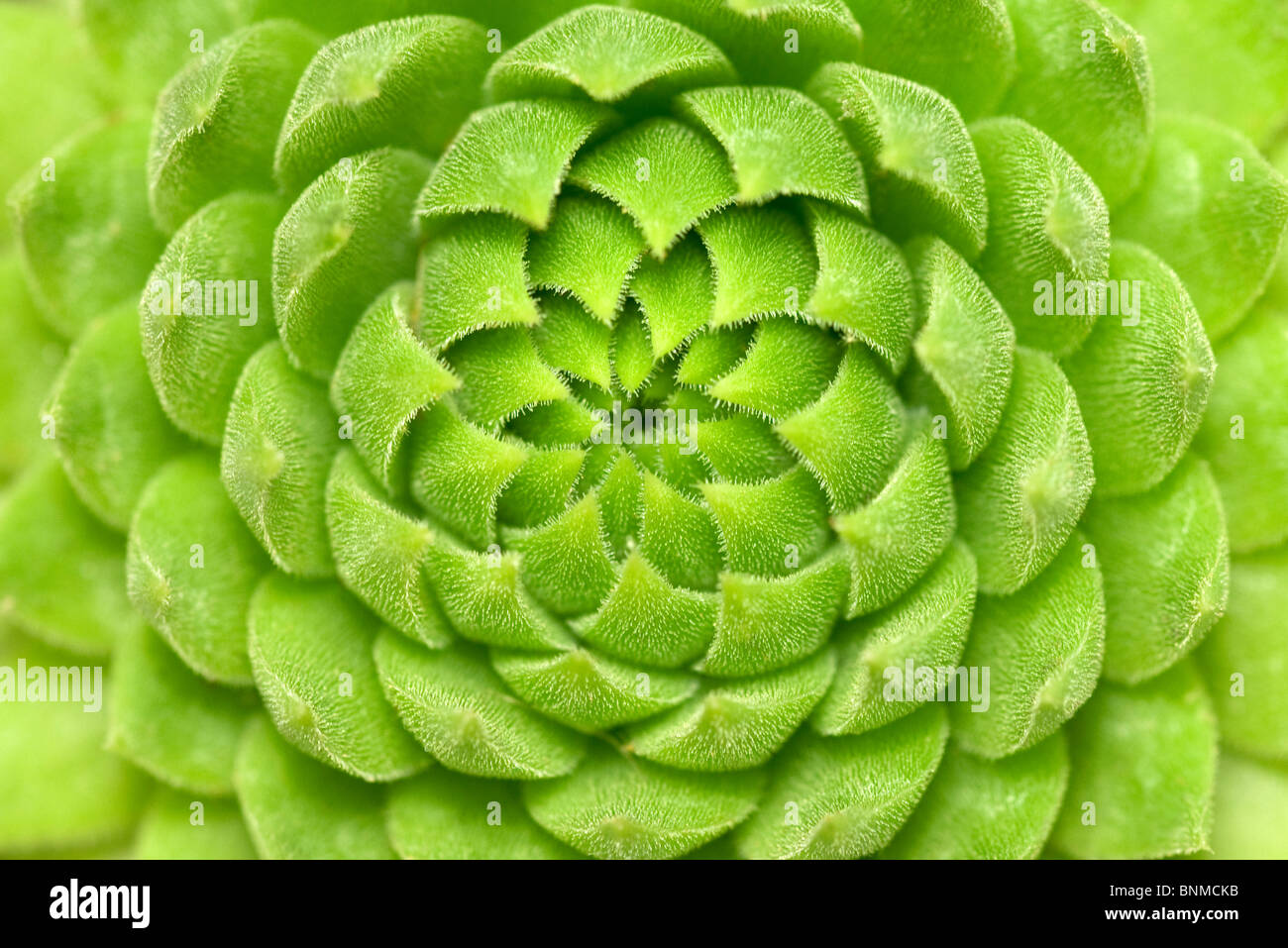 Close up of green plante succulente Photo Stock