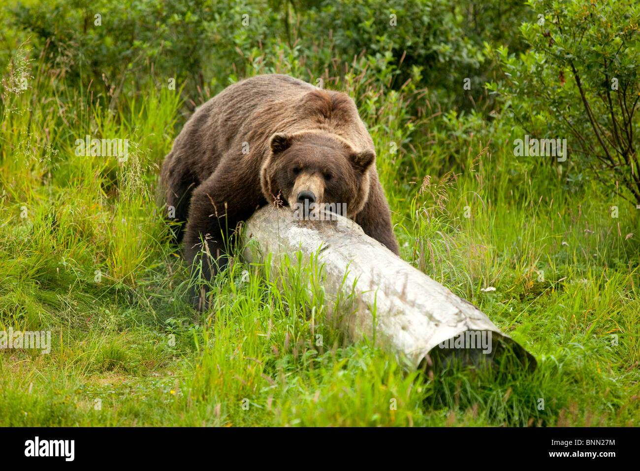 L'ours grizzli en captivité repose son corps tout entier sur un journal à l'Alaska Wildlife Conservation Photo Stock