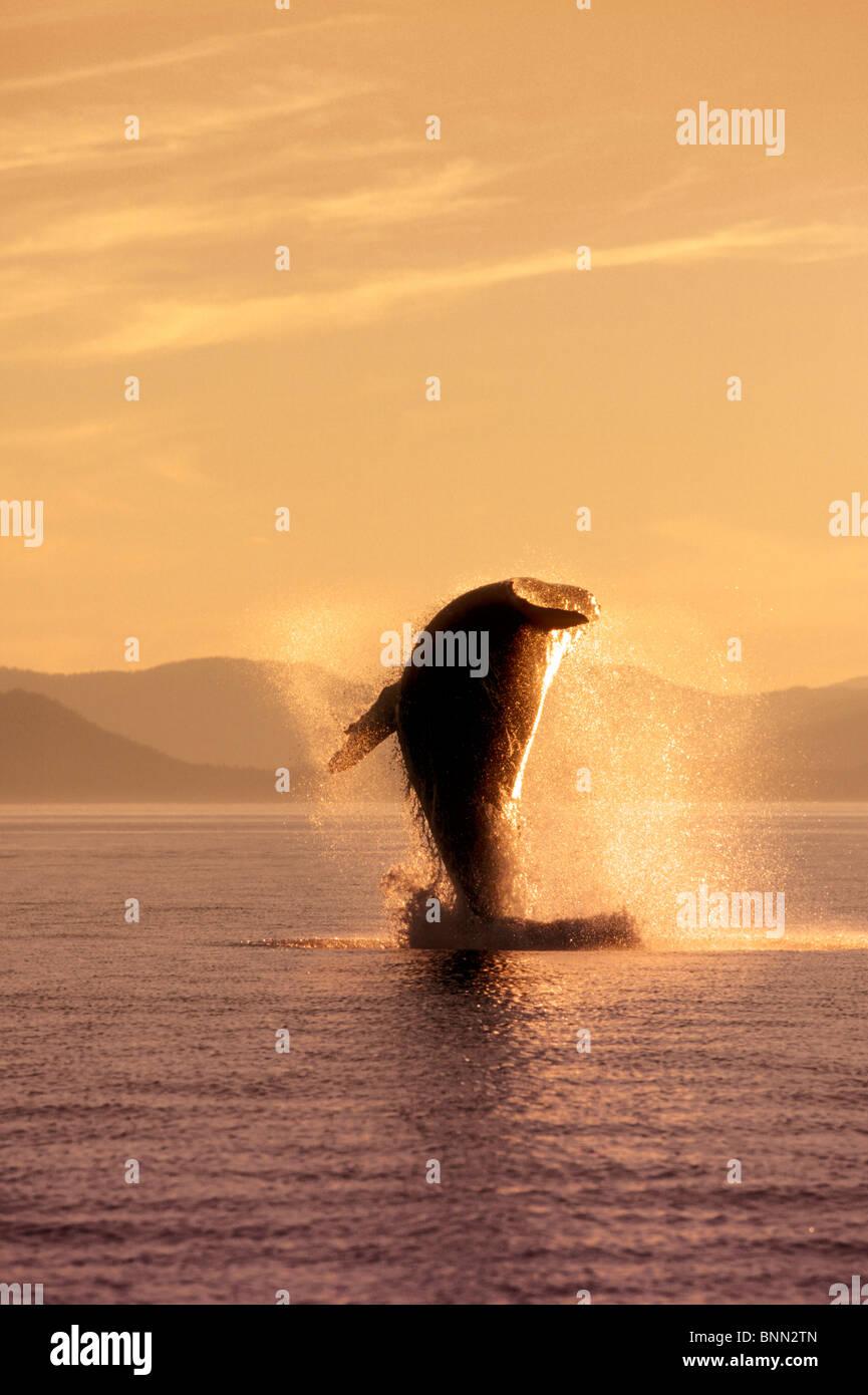 Humpback Whale Breaching dans le passage de l'intérieur SE AK été éclairé par LED Photo Stock