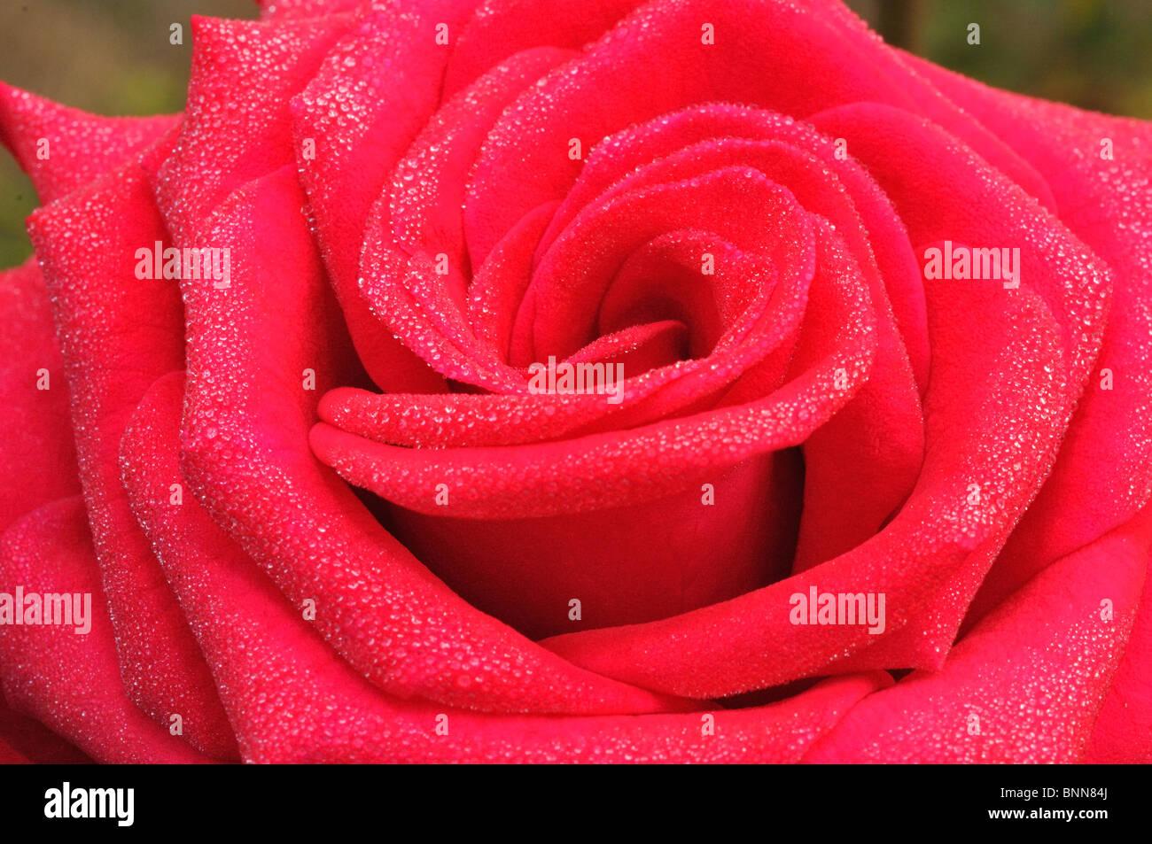 Close up of red rose avec des gouttes de pluie sur les pétales Banque D'Images