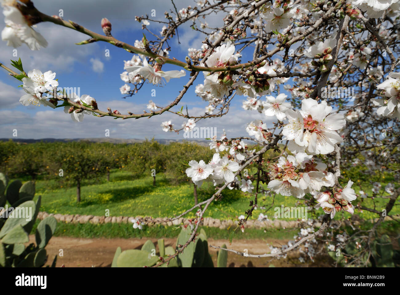 Avola. La Sicile. L'Italie. & Fleur d'amandier de citronniers. Photo Stock
