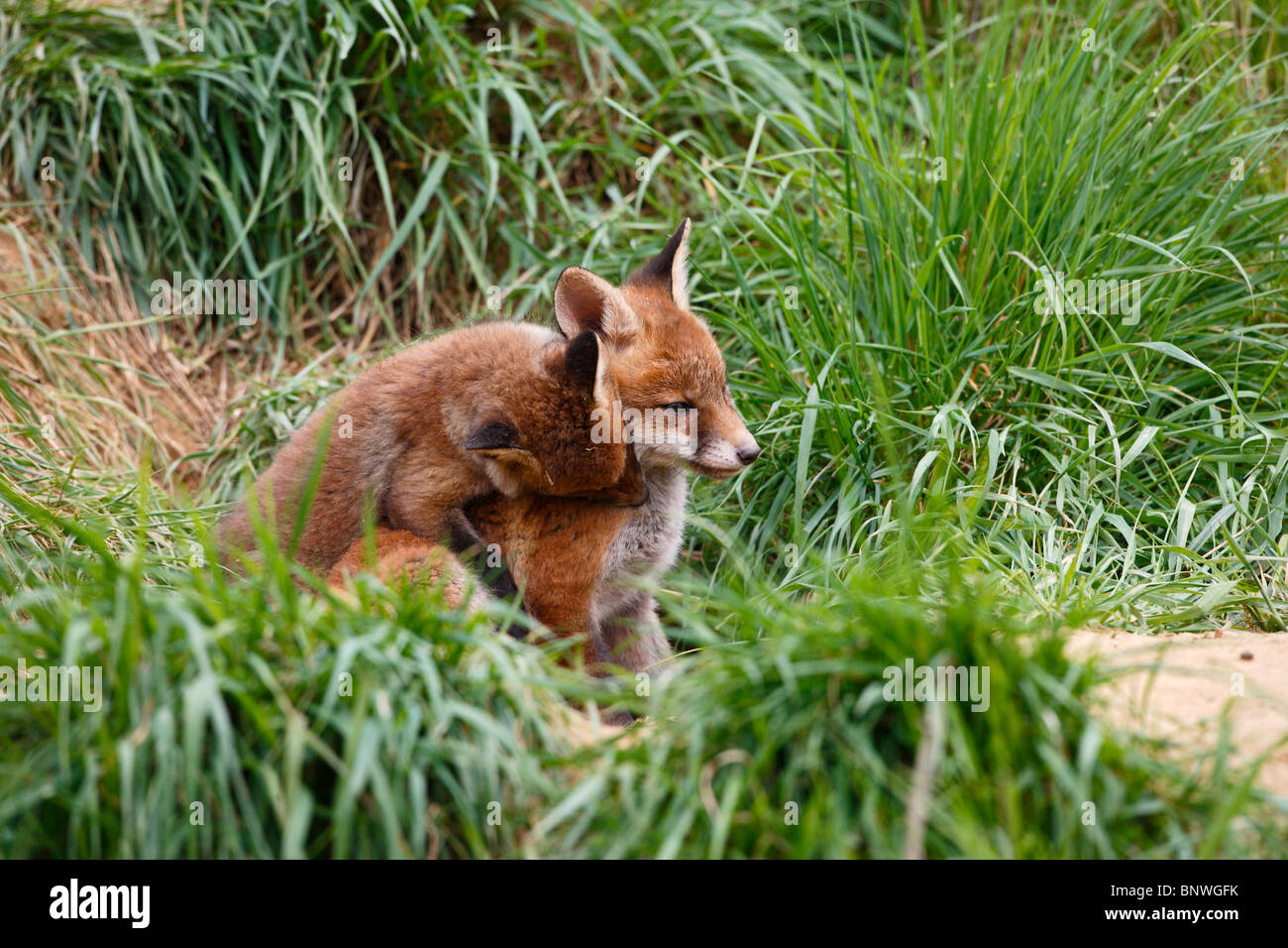 Le renard roux (Vulpes vulpes) Oursons jouant près de la terre Banque D'Images