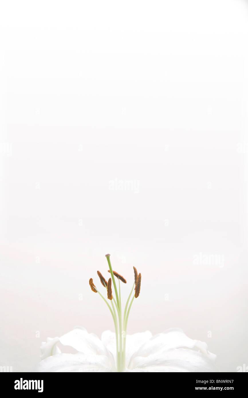 Une fleur de lys blanc Photo Stock