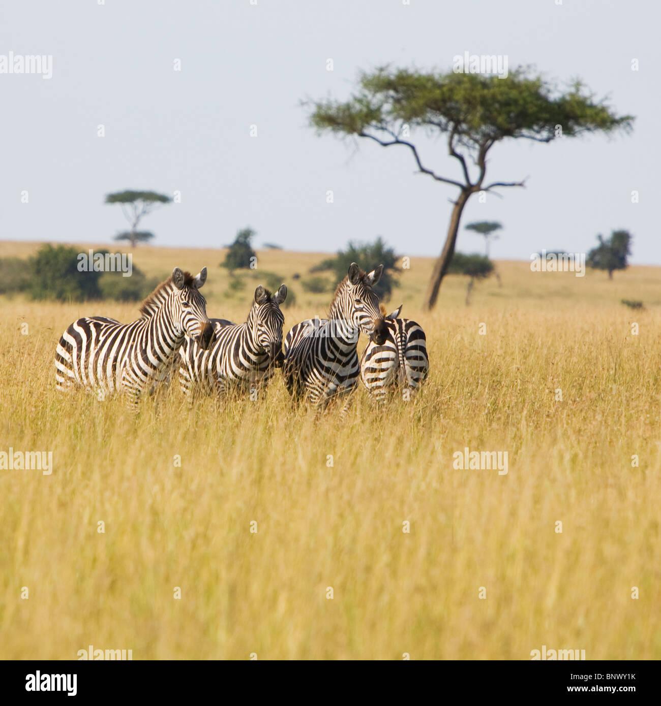 Zebra dans le Masai Mara, Kenya Banque D'Images