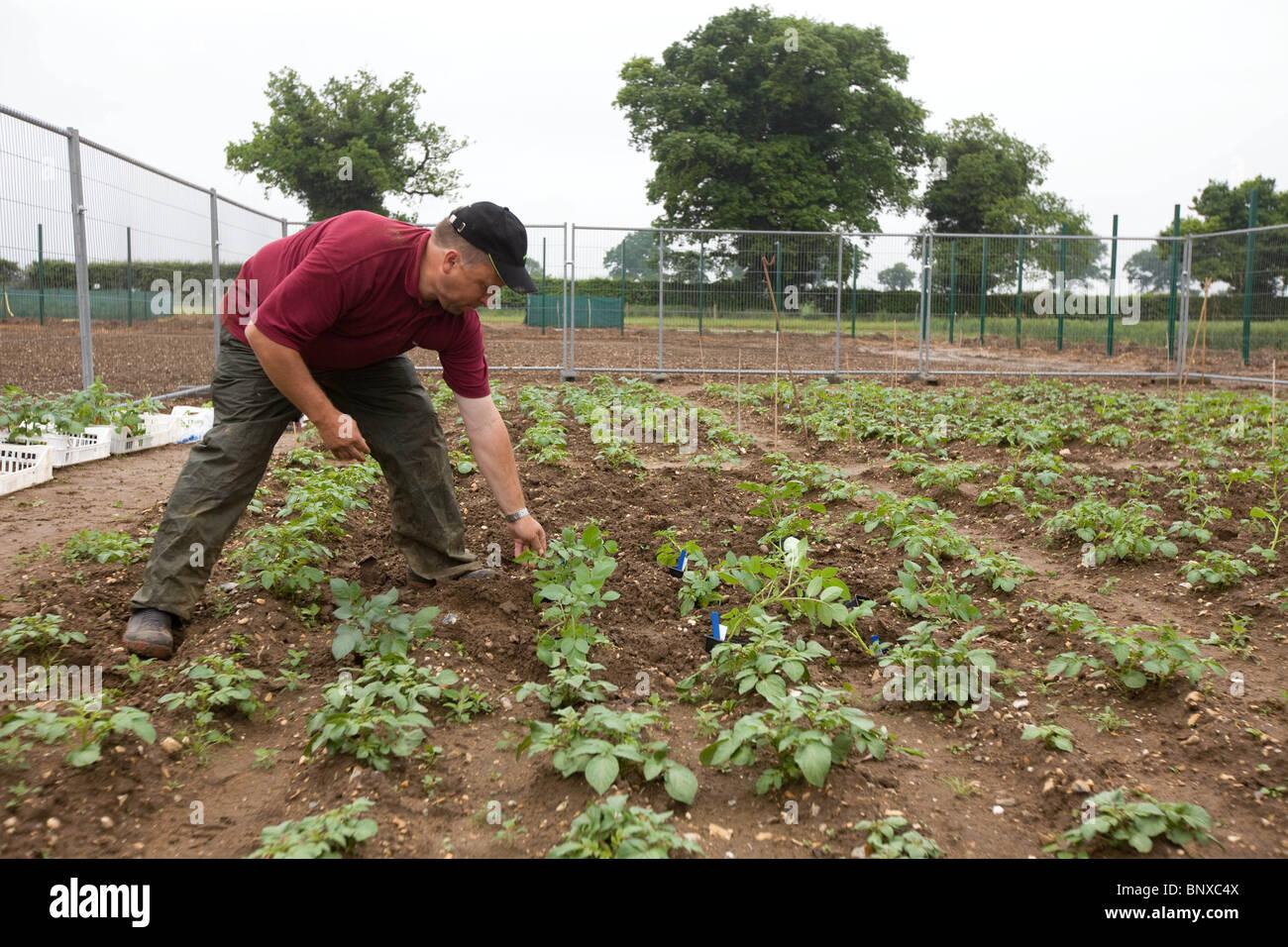 La plantation des pommes de terre génétiquement modifiées à Norfolk, Angleterre Photo Stock