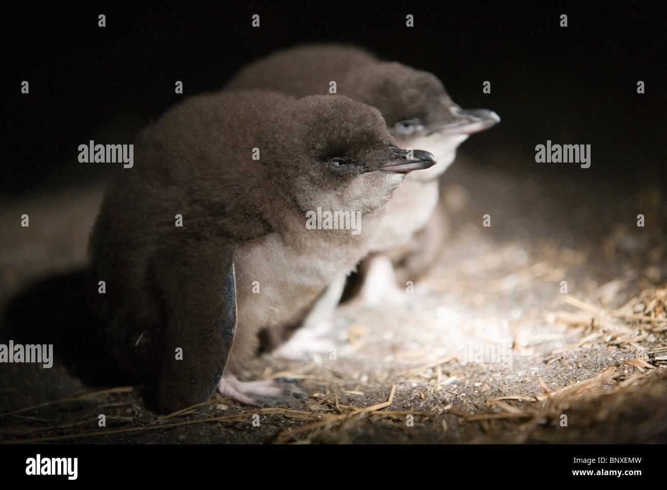 Des manchots pygmées bébé (Eudyptula minor). Redbill Beach, Bicheno, Tasmanie, Australie Photo Stock