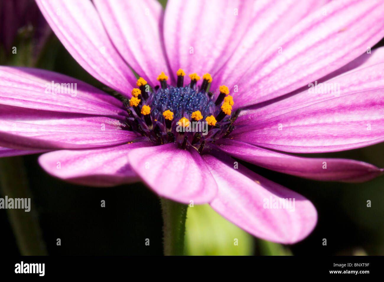 Gros plan Marguerite Photo Stock