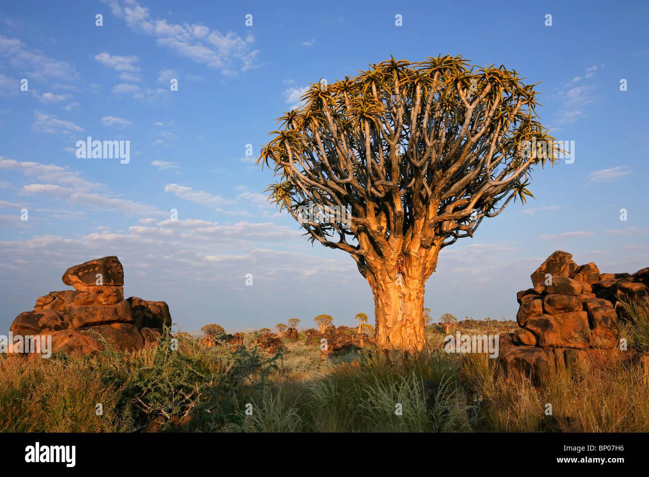 Paysage désertique avec des roches de granit et d'un carquois tree (Aloe dichotoma), Namibie, Afrique du Photo Stock