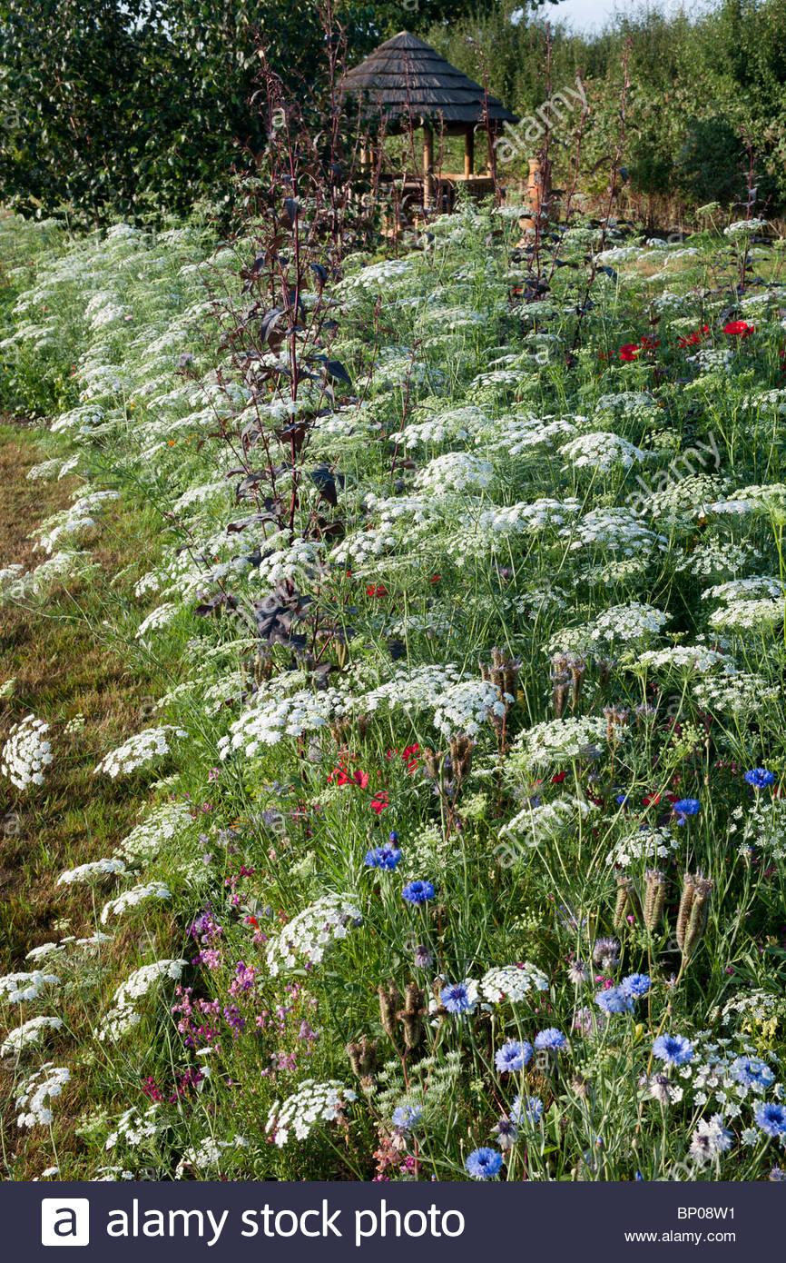 Pré pictural mélange pastel Fleur évêques Ammi majus vivace à fleurs d'été Photo Stock