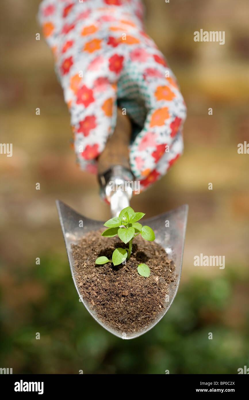 Hand holding plant sur truelle de jardin Photo Stock