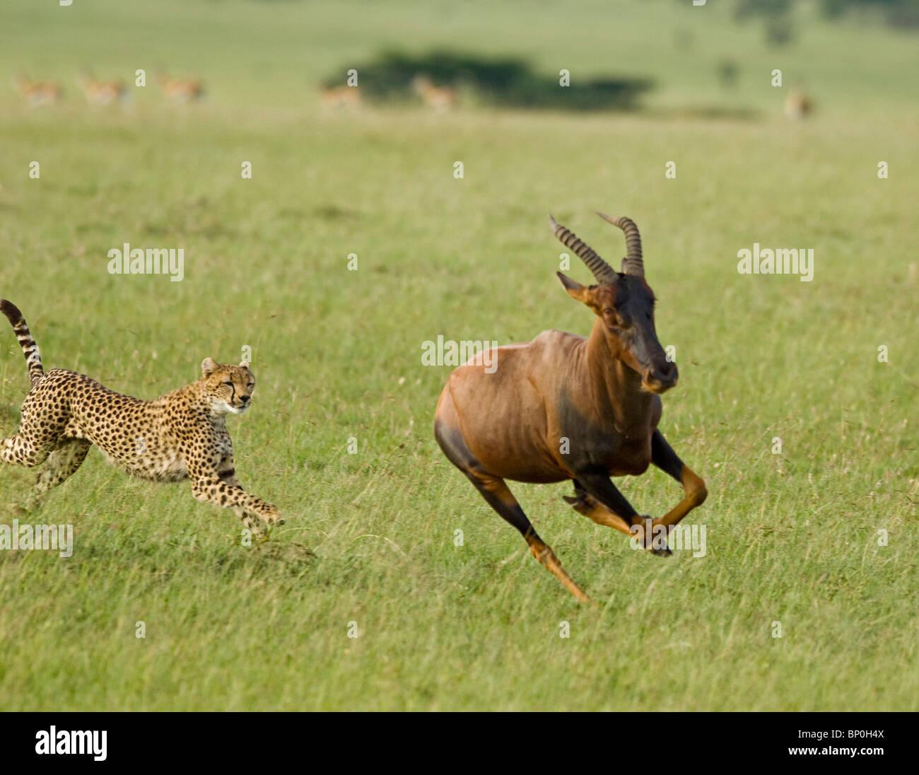 Au Kenya, le Masai Mara. Une femelle guépard chasse un topi dans les plaines d'herbe courte. Banque D'Images