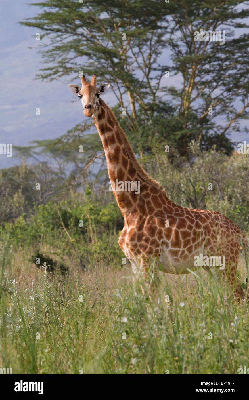 Les Masais Girafe (Giraffa camelopardalis tippelskirchi). Photo Stock