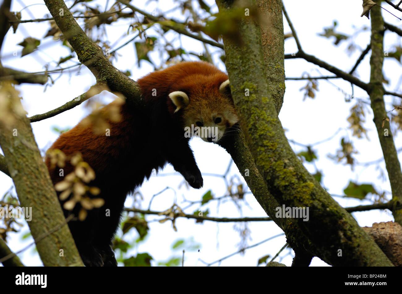 Close-up d'un panda rouge Banque D'Images