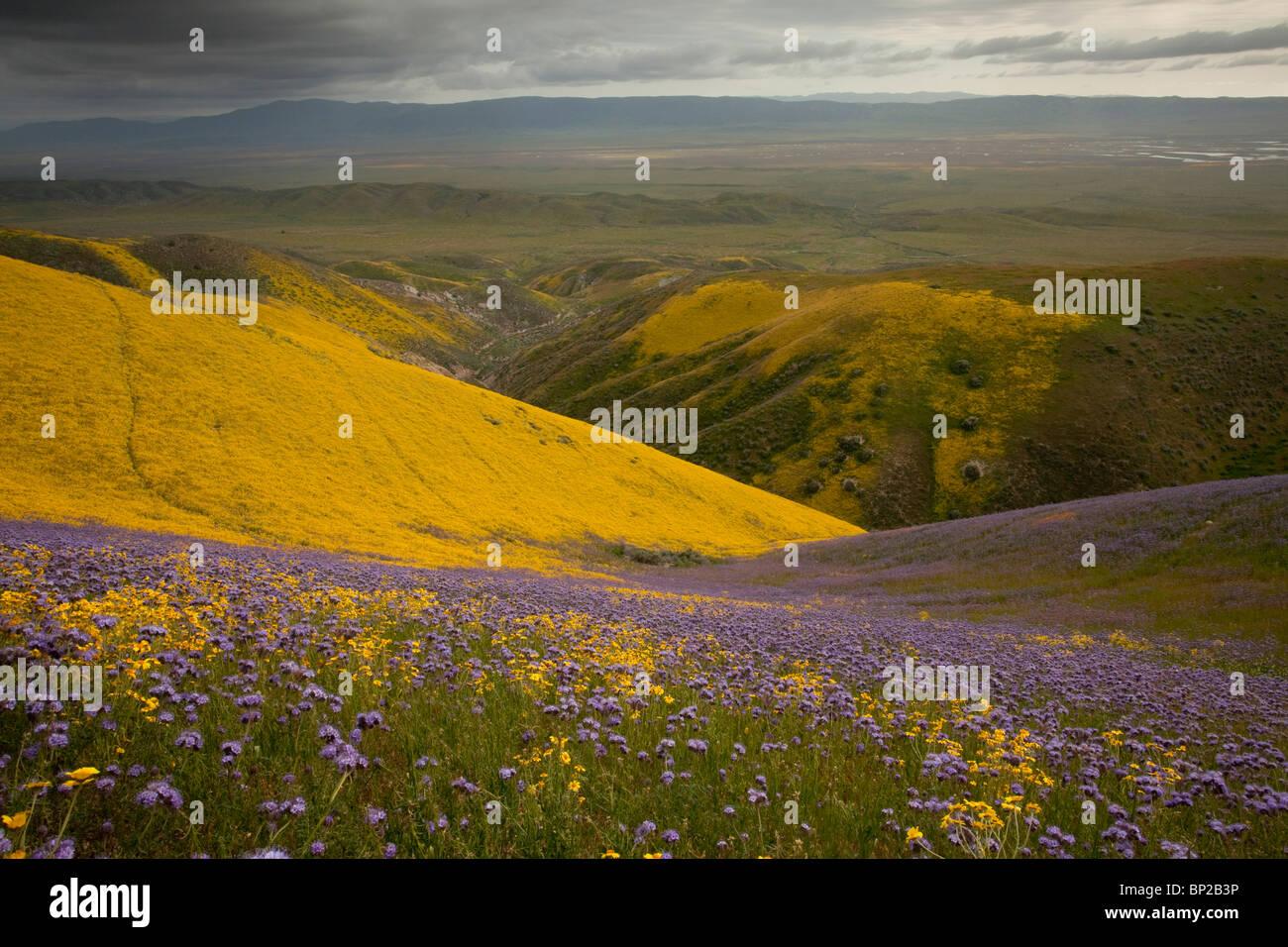 Masses de fleurs sauvages spectaculaires, principalement Hillside Daisy et phacélie, dans la gamme Temblor, Photo Stock