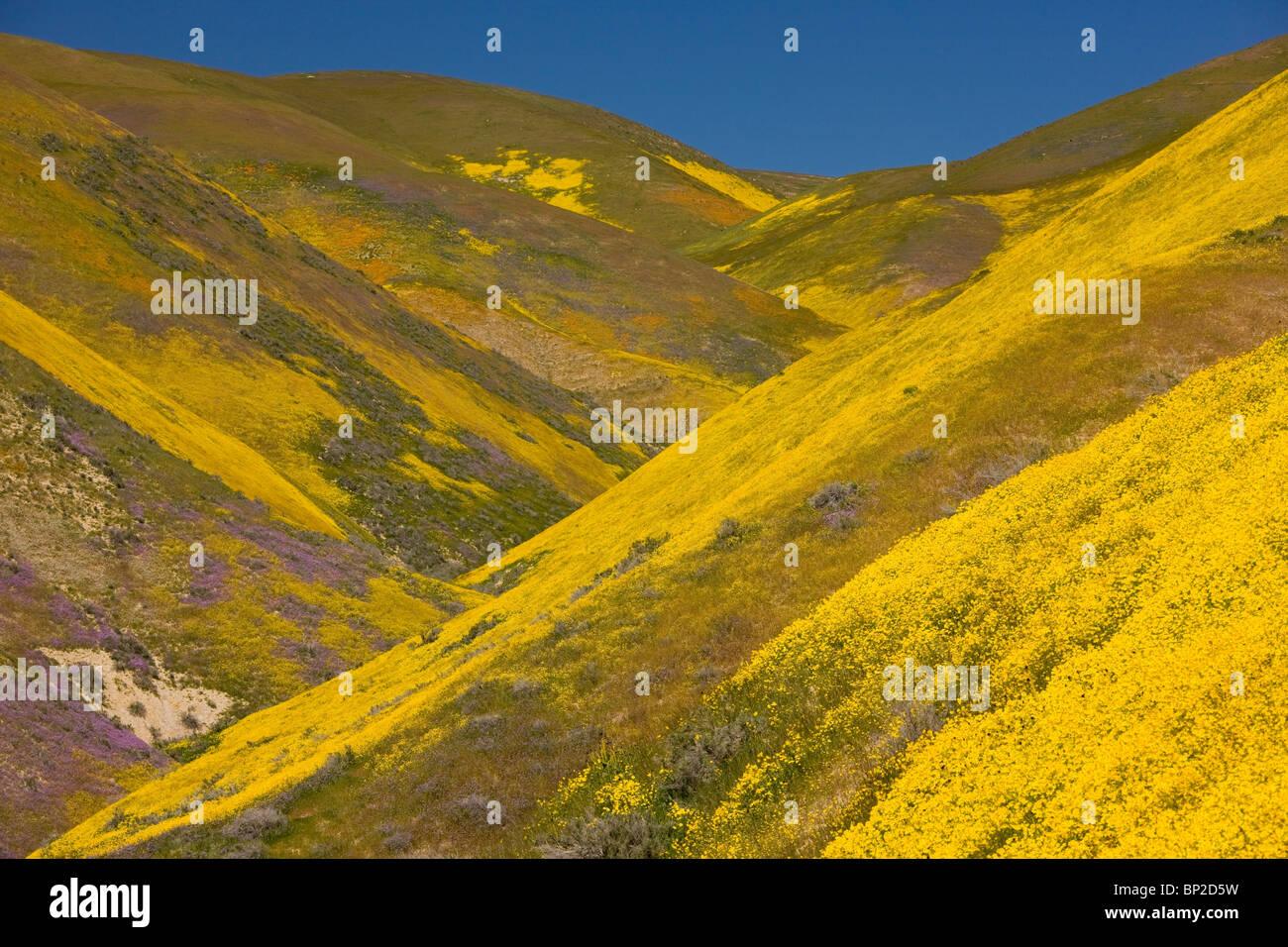 Masses de fleurs sauvages spectaculaires, principalement Hillside Daisy et phacélie, couvrant les pentes de Photo Stock