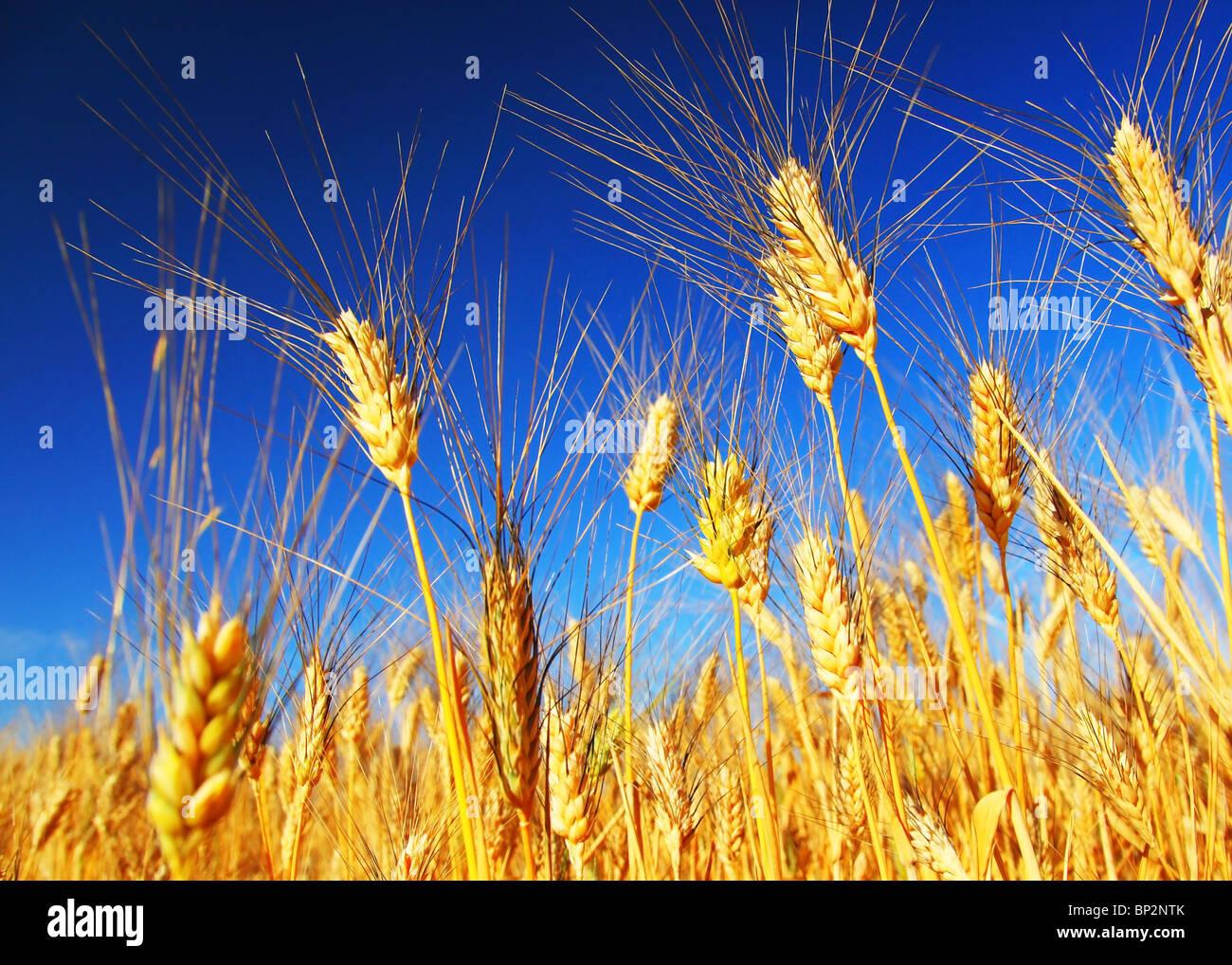 Champ de blé gros plan paysage sur le seigle sur ciel bleu Photo Stock