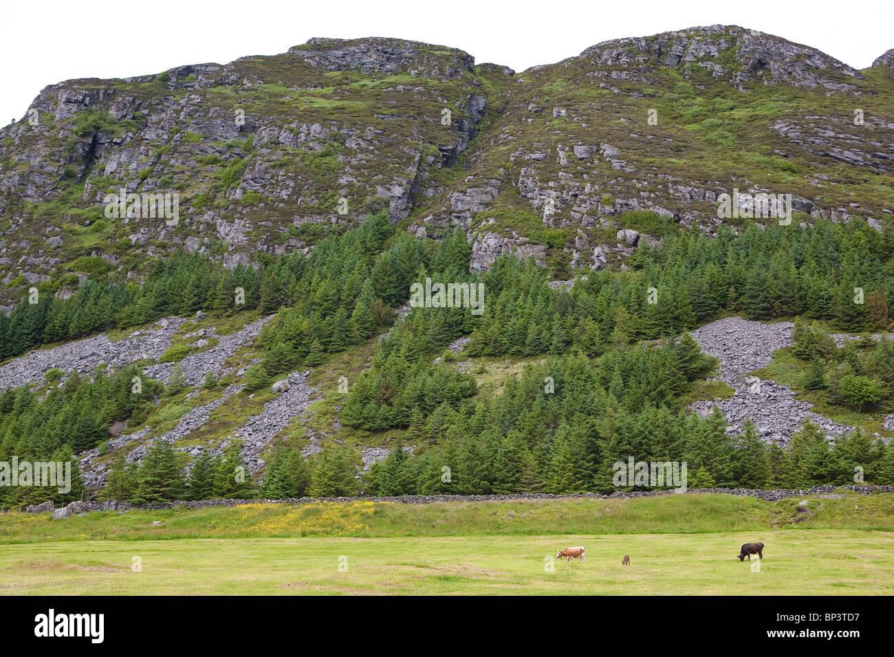 Le bétail de l'espèce Vestlandsk Fjordfe à champs herbeux sur l'île de Runde, sur la Photo Stock