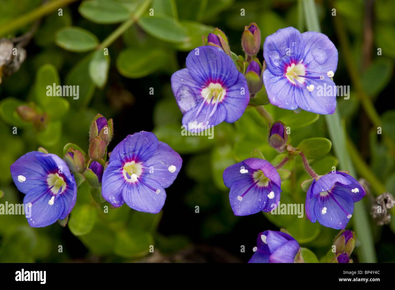 Veronique Roche Veronica Fruticans En Fleur Les Alpes Rare Au