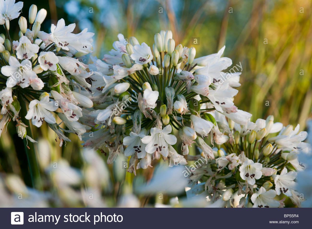 Agapanthus Melo Bleu Fin De L Ete Africain Lily Fleur Vivace