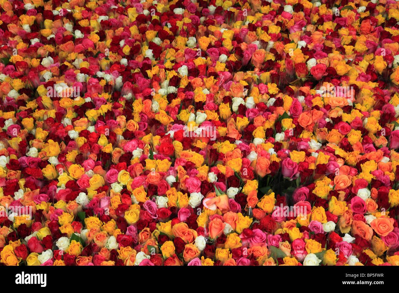 Danemark, copenhague, roses, fleurs, Photo Stock