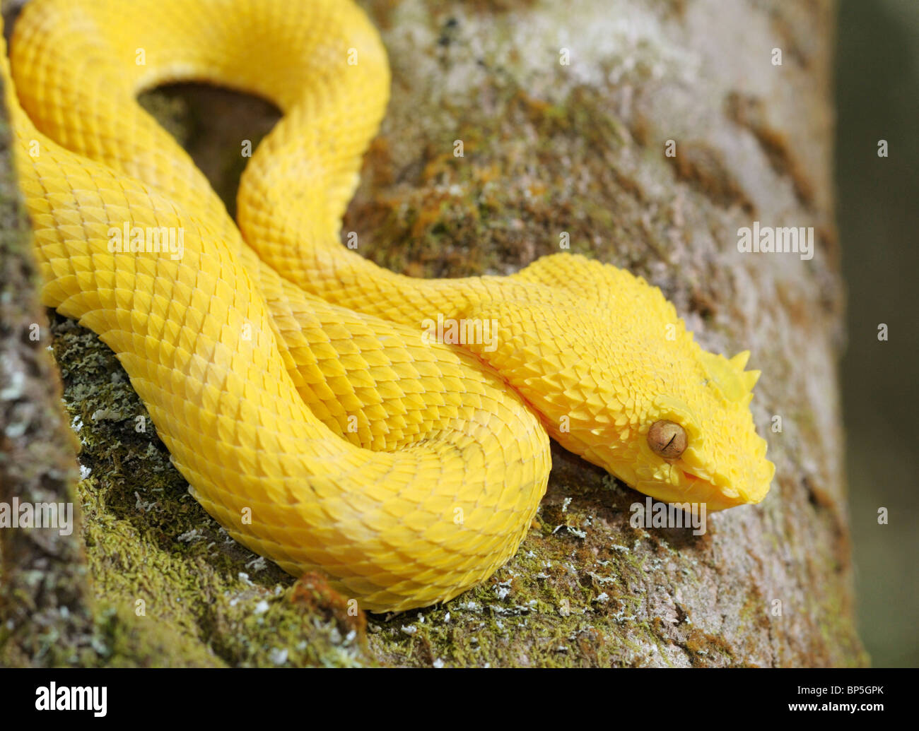 Bothriechis schlegelii cils, Viper, parc national Arenal, Costa Rica Photo Stock