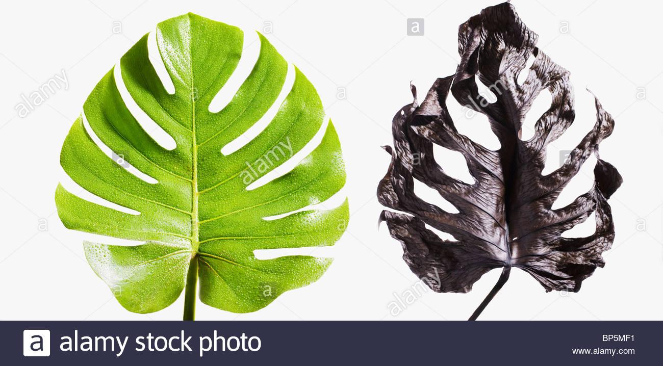 Le contraste de la feuille de palmier vert et de feuilles de palmiers morts Photo Stock