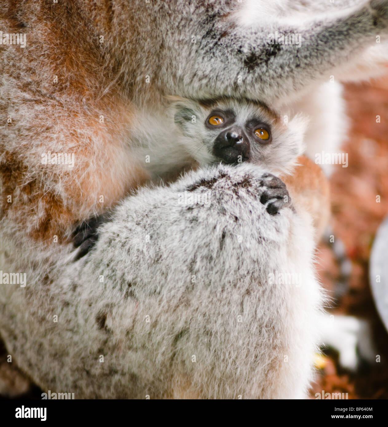 Mignon bébé lémurien avec sa mère Photo Stock