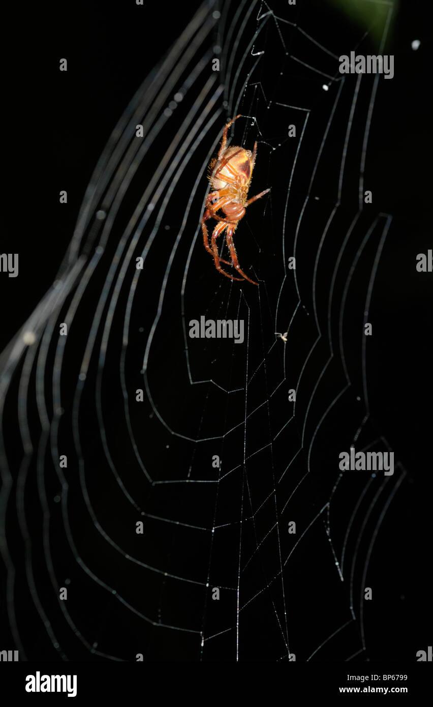 Dans l'araignée tropicale orb web, rainforest, Chilamate, Costa Rica Photo Stock