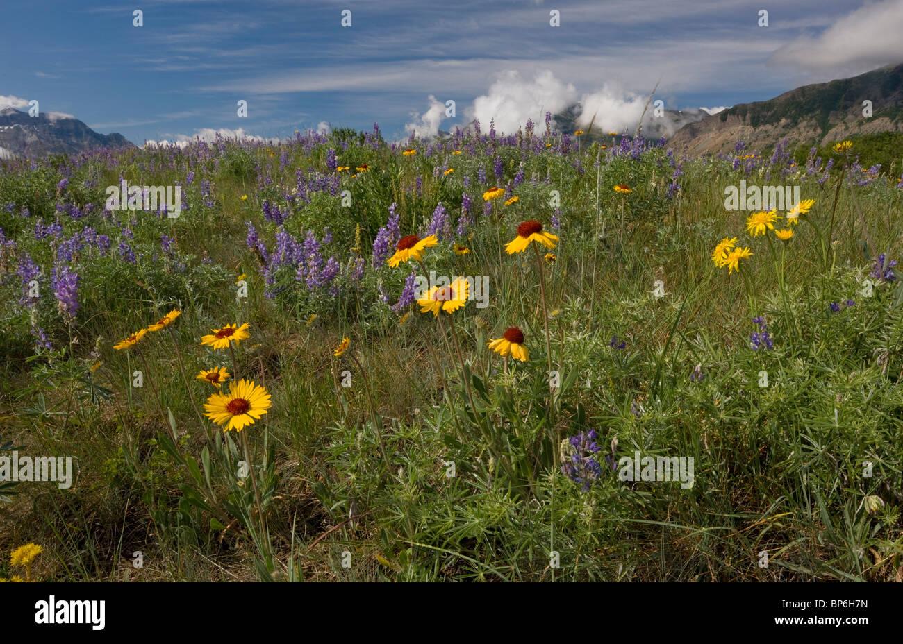 Blanketflower commun ou conjoint, gaillardia Gaillardia aristata, lupins et autres fleurs dans les prairies, les Photo Stock