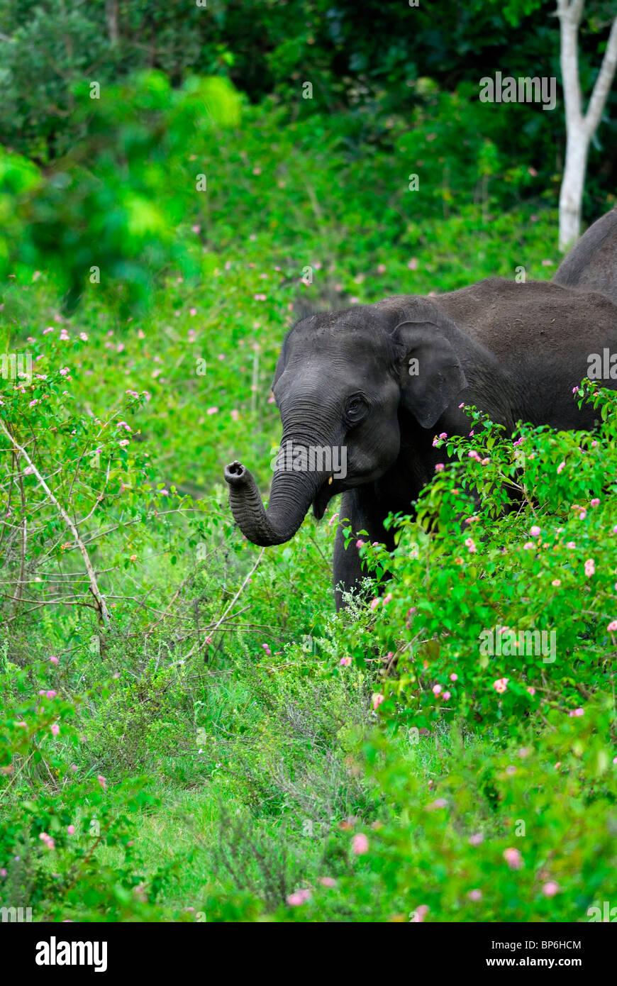 L'éléphant indien d'Asie (Elephas maximus) barrissements. Bandipur National Park, Inde. Banque D'Images