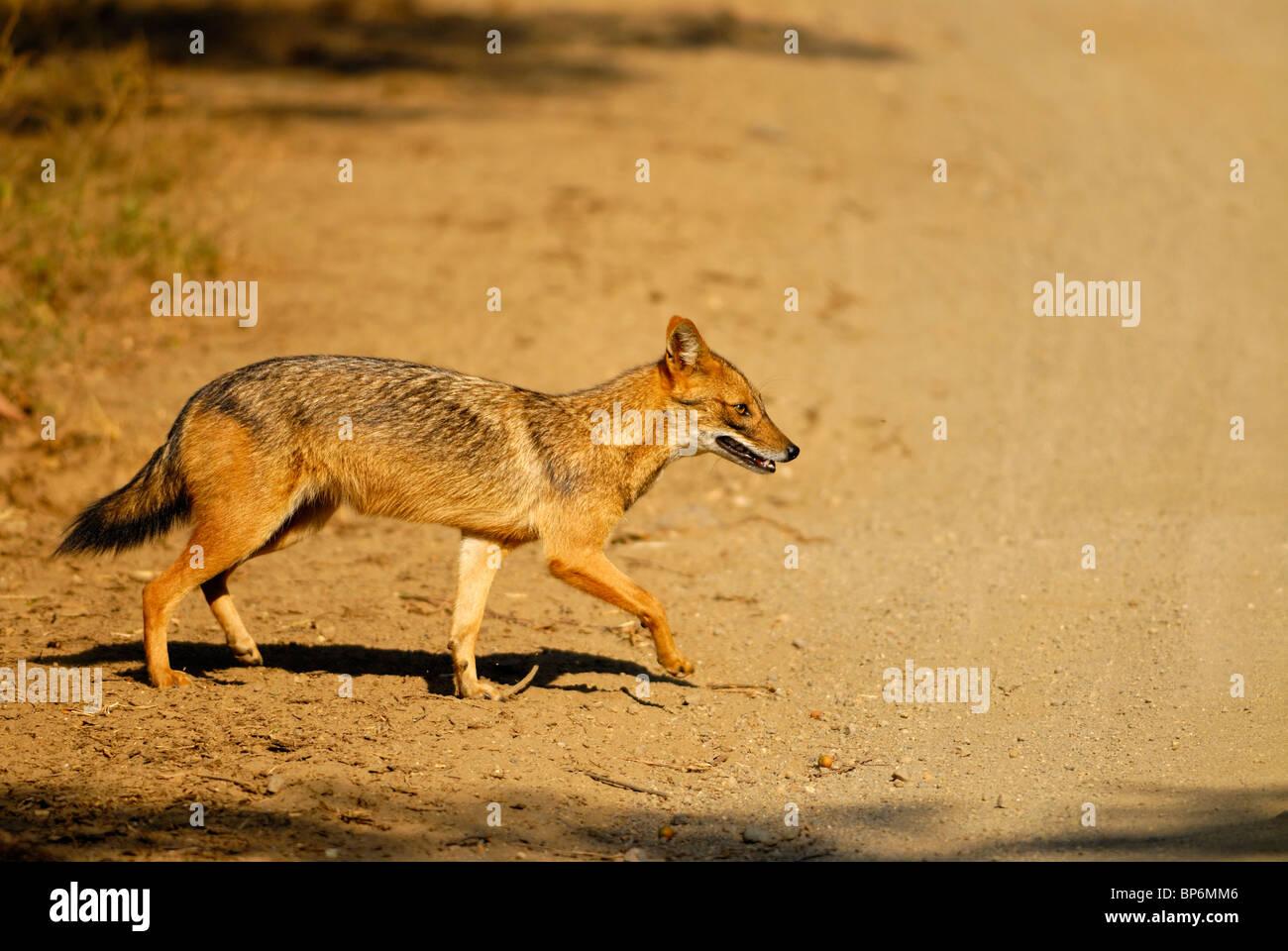 Le Chacal Canis aureus indien Banque D'Images