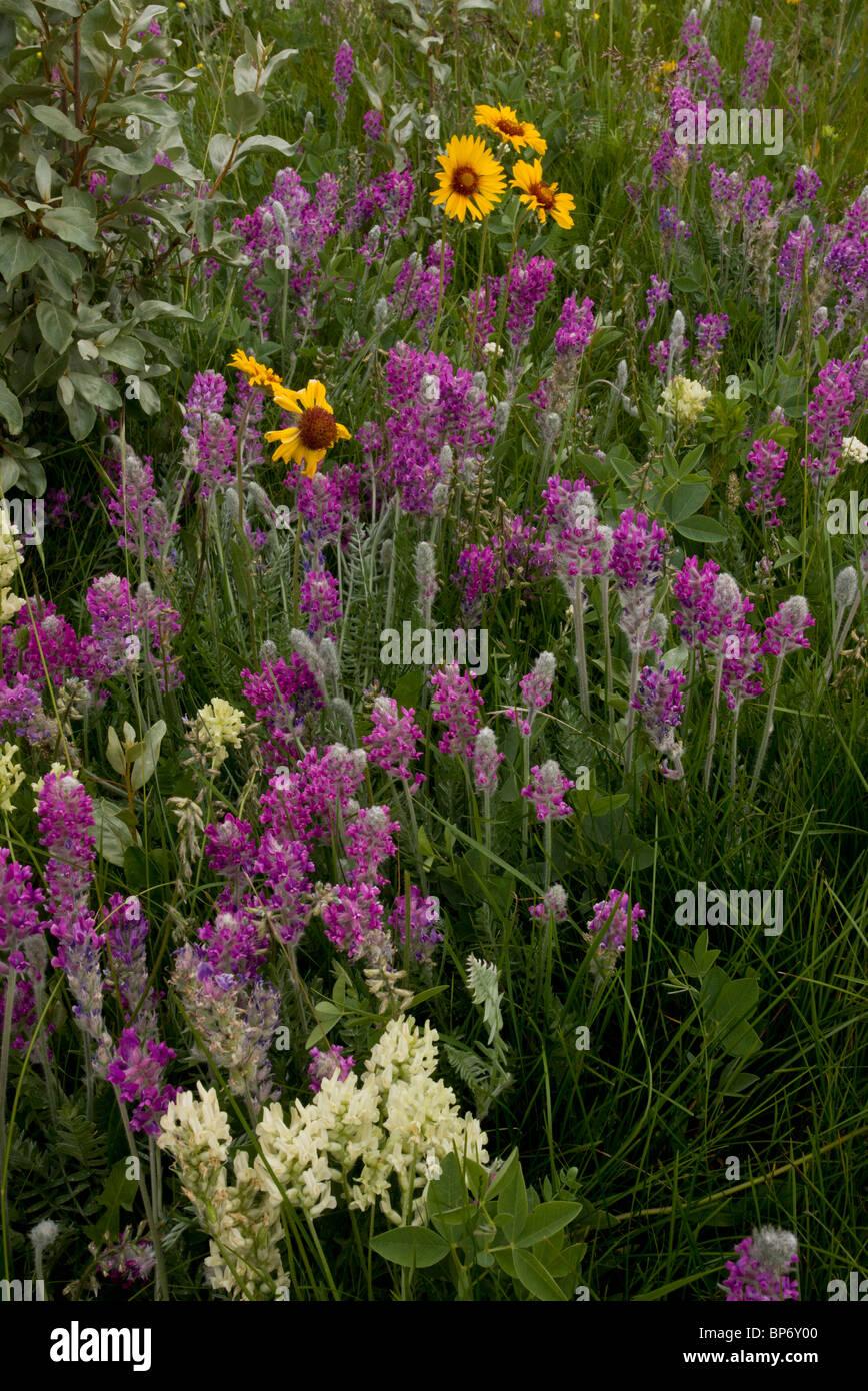 Mi-fleuri prairie d'altitude, avec l'oxytropis de voyante, la gaillarde et la montagne, Oxytropis de Bow Photo Stock
