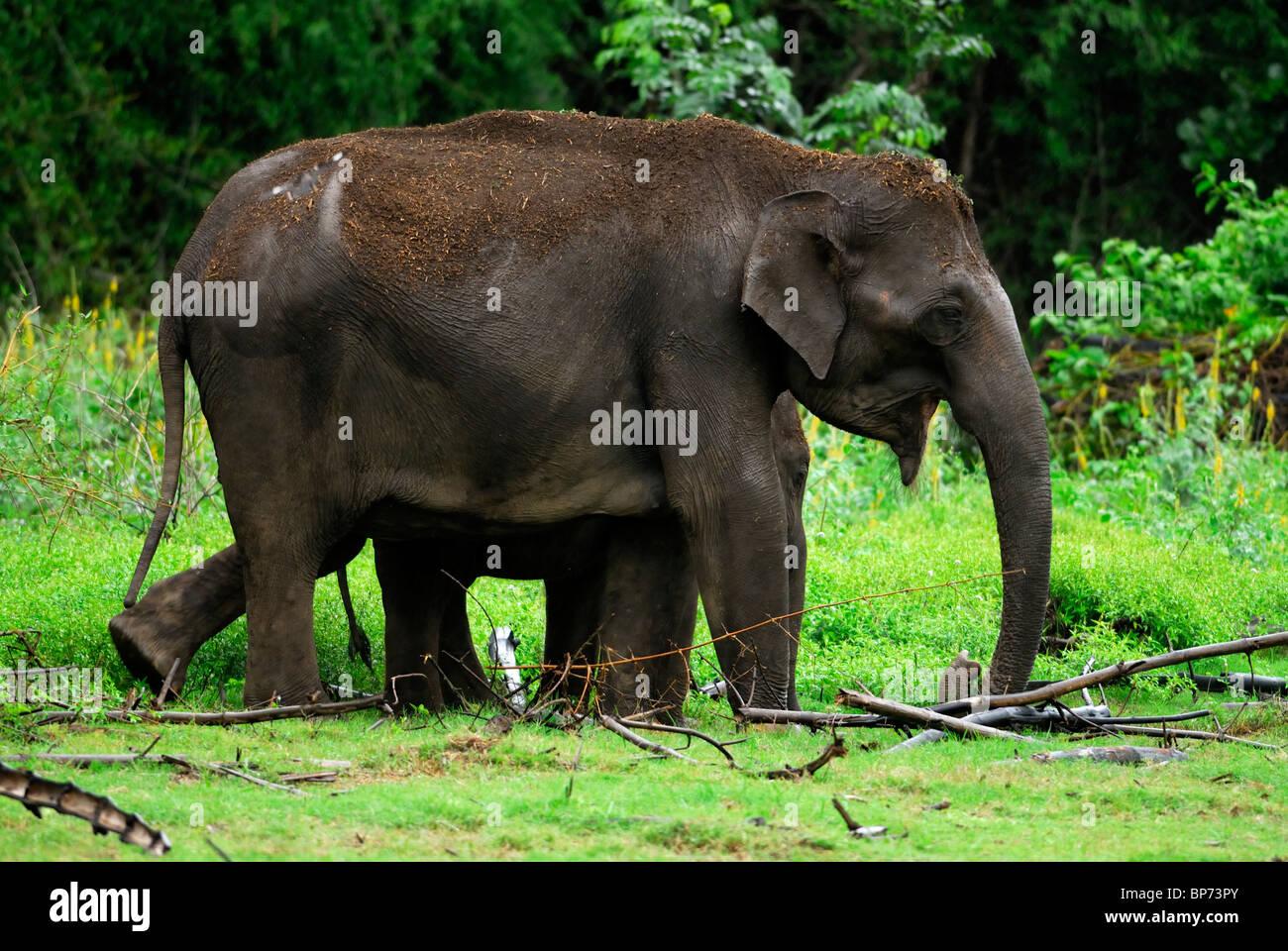 Éléphant d'Asie (Elephas maximus) Mère et son petit. Guatemala City, le Parc National de Nagarhole, Inde. Banque D'Images