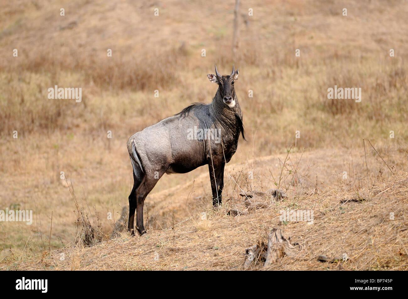 Neelgai Boselaphus tragocamelus antilope Banque D'Images