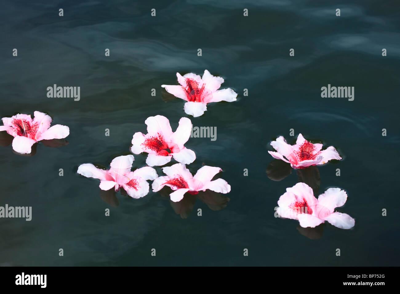 Portland, Oregon, United States of America; Rhododendron fleurs flottant dans l'eau à Crystal Springs Photo Stock