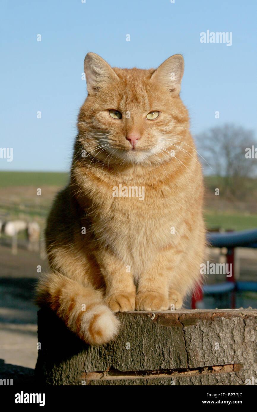 Chat domestique (Felis silvestris, Felis catus). De tomcat ferme assis sur un journal. Photo Stock