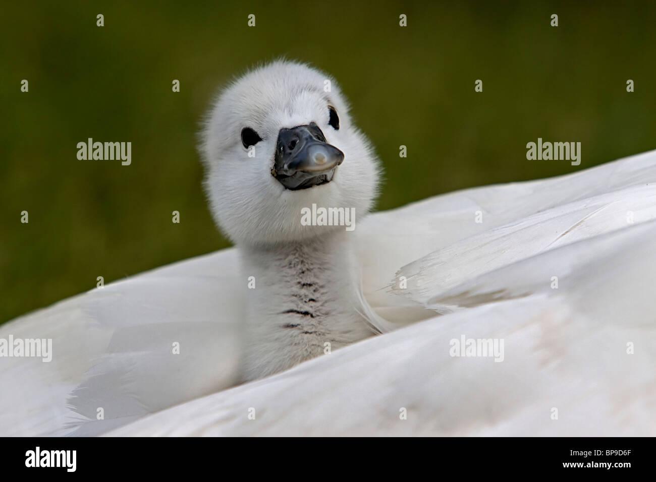 Cygnet bébé oiseau mignon Cygne tuberculé Cygnus olor Photo Stock
