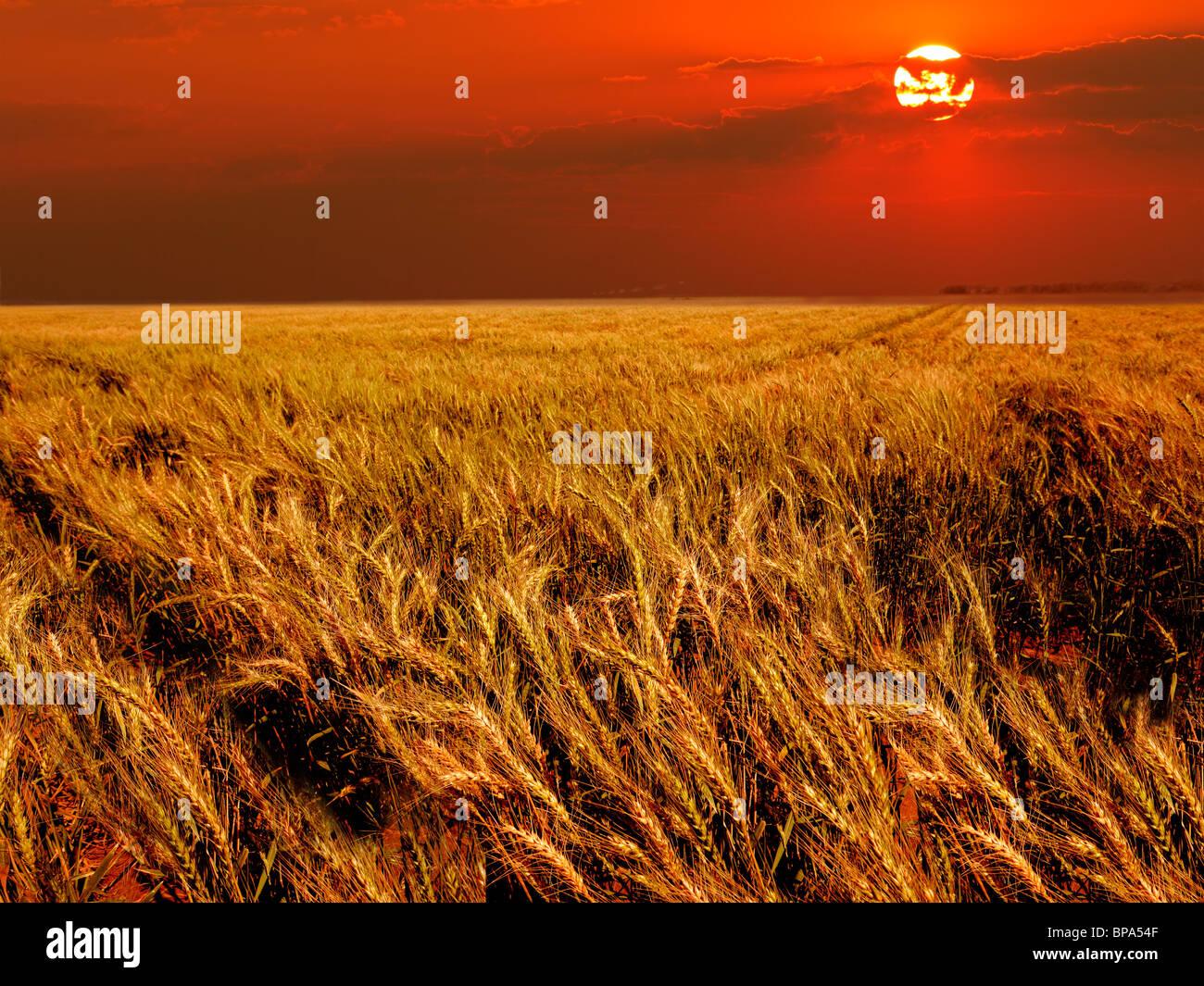 Champ de blé dans la chaude lumière au coucher du soleil Photo Stock