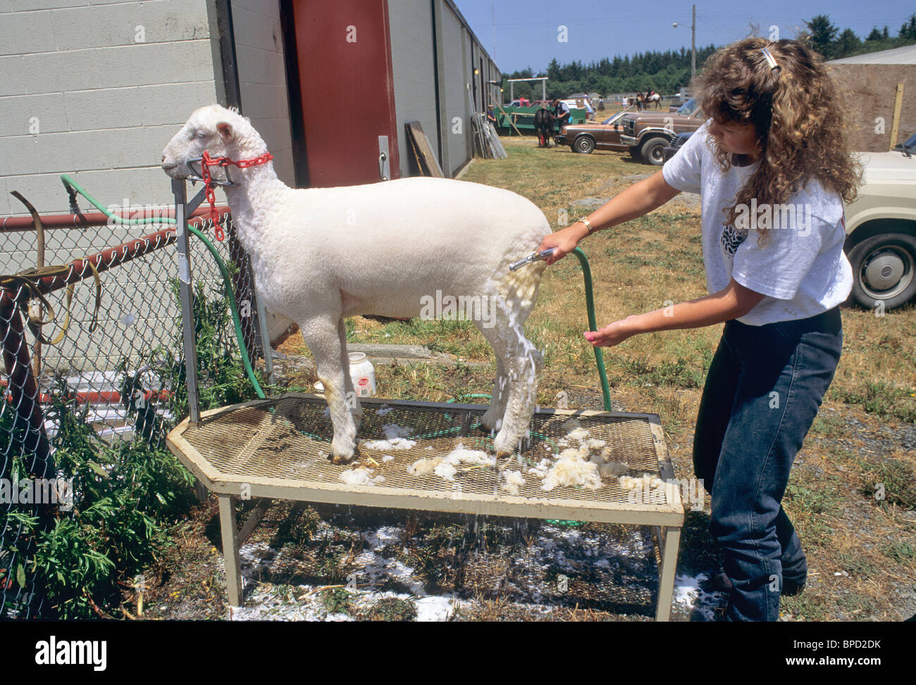 Le toilettage de l'adolescence, de l'élevage de moutons Junior compétition, Photo Stock
