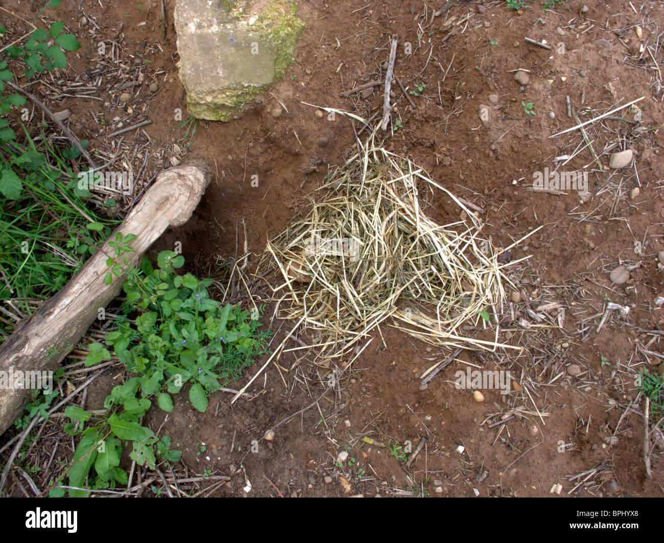 Le blaireau, Meles meles, matériel de nidification par les blaireaux sett, Midlands, Juillet 2010 Banque D'Images